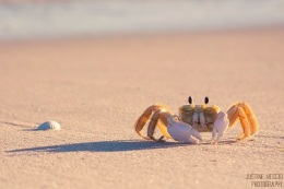 Carolina Ghost Crab