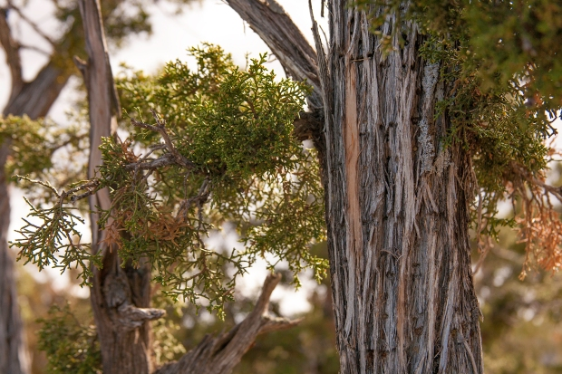 Pygmy Pines El Malpais Conservation Area