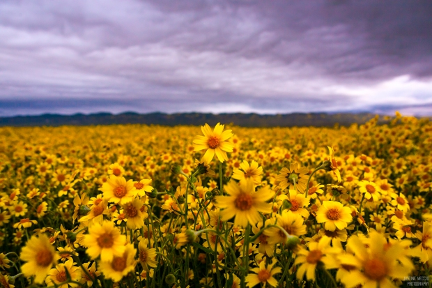 Carrizo-Plain-CA-Wildflower-Bloom