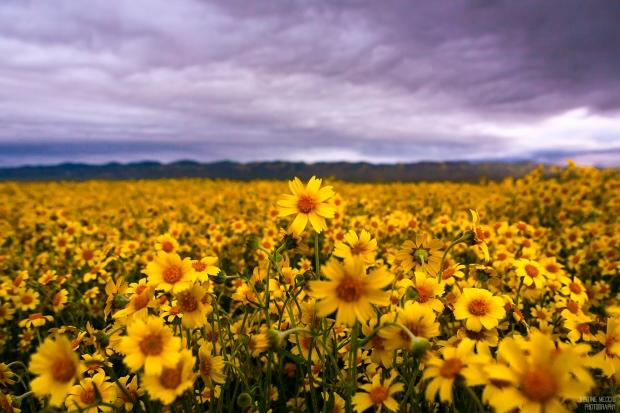 Carrizo-Plain-CA-Wildflower-Bloom