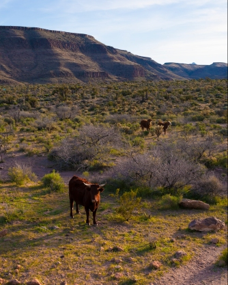 Cattle Grazing Mojave National Preserve