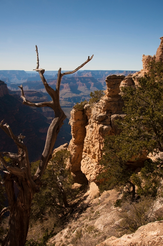 Tree at south rim of grand canyon