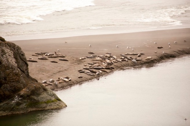 highway-one-CA-harbor-seals