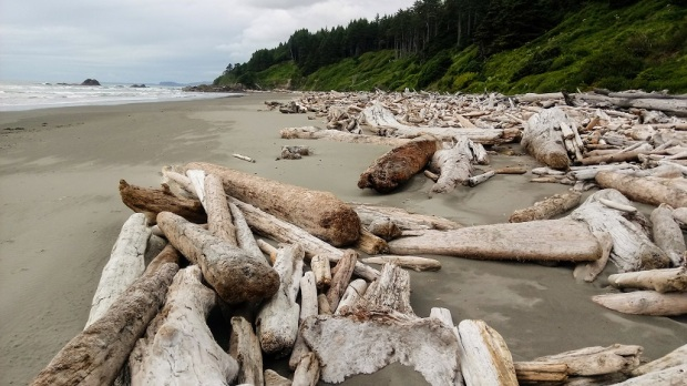Driftwood at Kalaloch Beach Forks WA