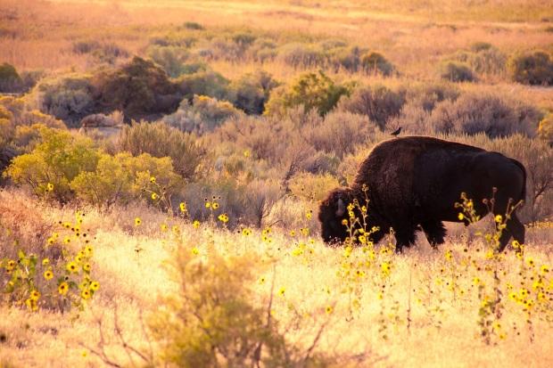 Syracuse-UT-Antelope-Island-State-Park-Bison